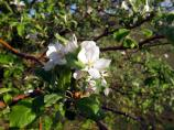 Apple, Malus sp.