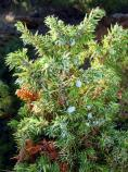 Common Juniper, Juniperus communis