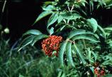Stinking Elderberry, Red-berried Elder - Sambucus racemosa, S. pubens