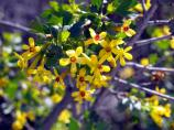 Golden Currant, Flowering Currant, Buffalo Currant, Ribes odoratum, Ribes aureum