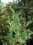 Rocky Mountain Juniper, Juniperus scopularum