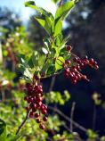 Chokecherry, Prunus virginiana