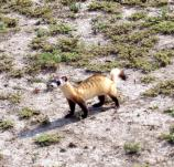 Black-footed ferret release in Wind Cave NP