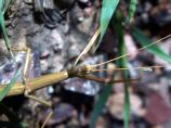 Walkingstick, Family Phasmatidae