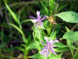 Snowberry Clearwing Hummingbird Moth, Hemaris diffinis