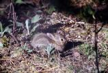Young Eastern Cottontail - sf310