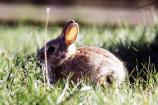 Young Cottontail Rabbit - sf882