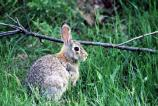Eastern Cottontail in Green Grass - sd1633