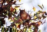 Red Squirrel in Tree Branches - sf313