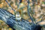 Red Squirrel in a Tree - sf314