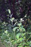 Maryland Sanicle, Black Snakeroot, Sanicula marilandica