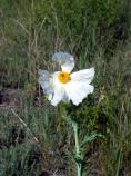 Bluestem Pricklypoppy, Crested Pricklypoppy, Intermediate Pricklypoppy, Annual Pricklypoppy, Argemone polyanthermos