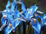 Rocky Mountain Iris, Western Blue Flag, Iris missouriensis