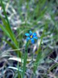 Mountain Blue-Eyed Grass, Common Blue-Eyed Grass, Sisyrinchium montanum