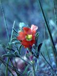 Scarlet Globemallow, Red False Mallow, Cowboy's Delight, Sphaeralcea coccinea