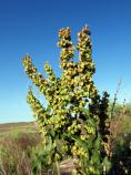 Curly Dock, Rumex crispus