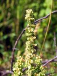 Western Dock, Rumex occidentalis, R. aquaticus var. fenestratus
