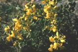 Prairie Goldenpea, Goldenpea, Prairie Thermospsis, Prairie Buckbean, Golden Bean, Yellow Bean, Yellow Pea, Yellow Banner, False Lupine, Thermopsis rhombifolia