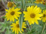 Maximilian Sunflower, Helianthus maximilliana
