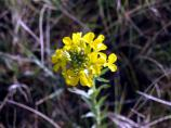 Western Wallflower, Erysimum asperum