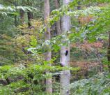 Pileated woodpecker on a tree in the summer forest.