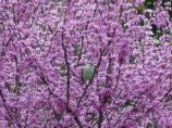 Northern Mockingbird in Redbud Tree