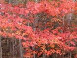 a picture of a tree turning red in the Fall