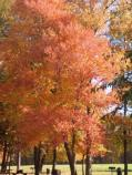 a picture of a tree changing colors in the Sweetgum Picnic Area