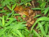 Copperhead in Grass