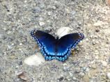 A red spotted purple butterfly on the Old Carriage Road trail.