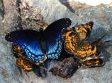 Red spotted purple and pearl crescent butterflies on Lock 1.