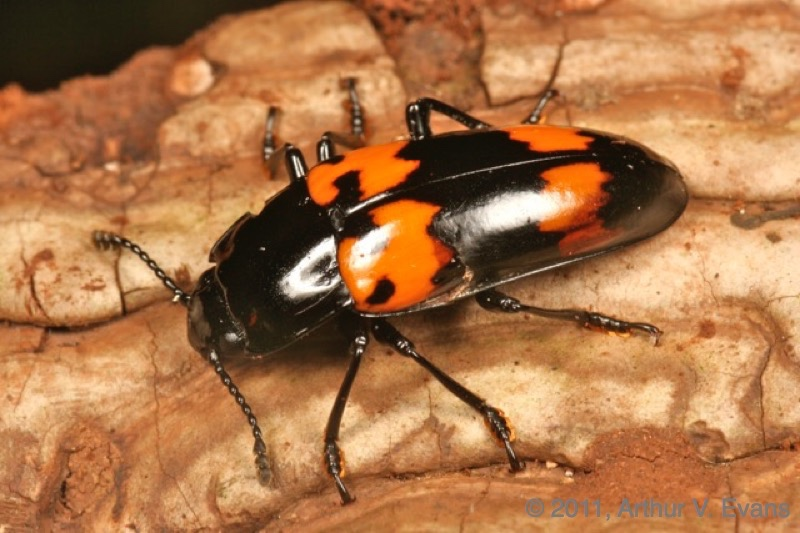 Pleasing fungus beetle (Megalodacne heros)