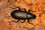 False mealworm beetle (Alobates pennsylvanicus)