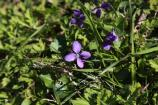 Purple wild violet flower in the grass.