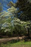 Double Flowering Dogwood