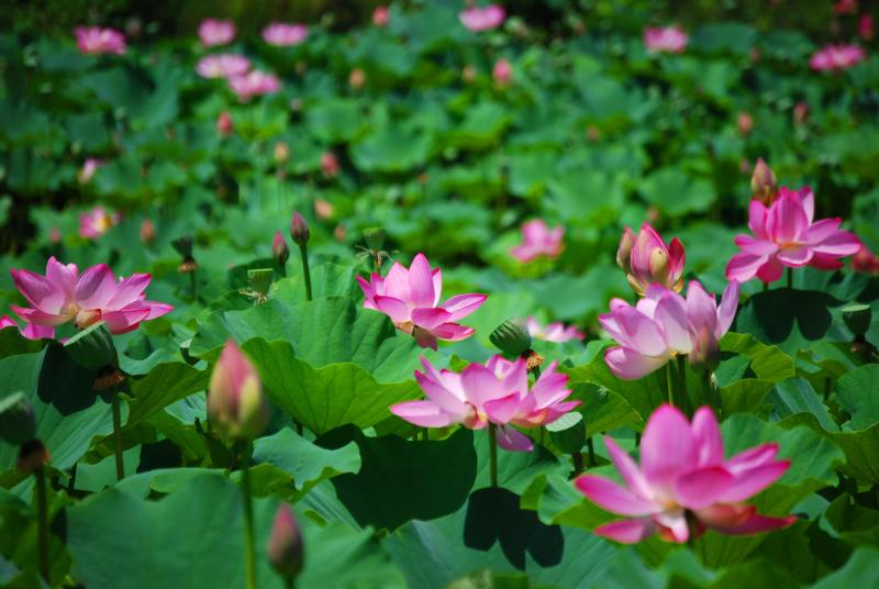 Pictures Of Lotus Flowers In Pond Kidskunstfo