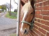 Becky, the Belgium horse, looking at the barnyard.