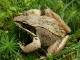 Wood frog in the grass.