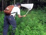 Amateur entomologist uses his sweep net to collect flies on vegetation.