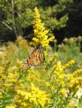 This monarch butterfly is fueling up for its long migration south.