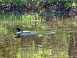Loons can sometimes be seen in the lakes and ponds of Acadia. Nesting loons are particularly sensitive to disturbance; please do not approach them on foot or by boat.