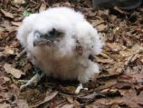 Peregrine chick poses after being banded by park wildlife biologist.