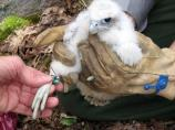 A peregrine chick being banded by a park wildlife biologist.