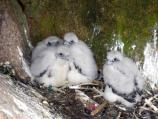 Peregrine chicks back in their scrape after being banded by the park wildlife biologist.