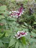Doll's eyes, white baneberry (Actaea pachypoda)