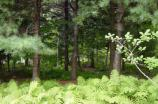 View into the coniferous woods