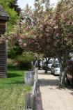 Ornamental cherry trees bloom along side the John Adams Birthplace