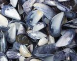 Mussels thrive in the cool, salty waters of the Boston Harbor. You can find