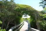 A shrubby American holly tree pruned by salt spray forms an arch over the boardwalk trail into the Sunken Forest.