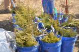 Buckets containing tree seedlings